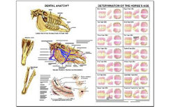 Dental Anatomy & Aging Chart by Susan Hakola