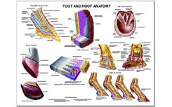 Foot and Hoof Anatomy Chart by Susan Hakola