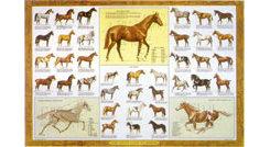 Guide To Horses Laminated Chart by Sam Savitt Best Price