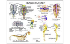 Neurological Anatomy Chart by Susan Hakola Best Price