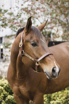 Perri's Custom 1 Professional Halter Best Price