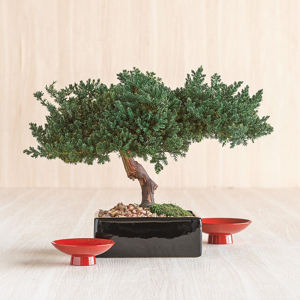 PRESERVED SINGLE MONTEREY BONSAI IN SQUARE POT