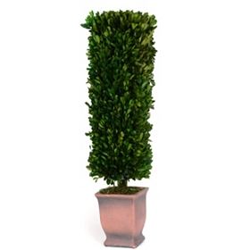 Boxwood Rectangle Preserved Topiary, 24 in.