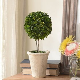 Boxwood Single Ball Preserved Topiary, 16 in.