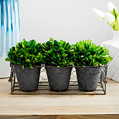 4-pc. Boxwood Topiary Arrangement