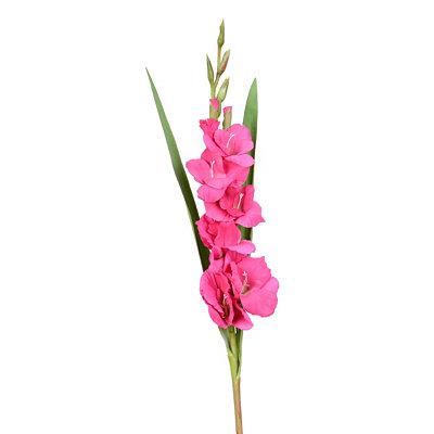 Fuchsia Gladiola Stem