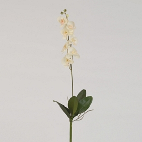 Ivory Moon Orchid Stem