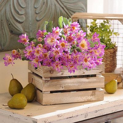 Lavender Shasta Daisy Bush