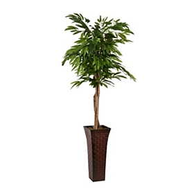 Mango Tree with Brown Metal Planter, 6 ft.