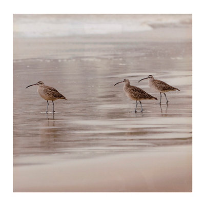Sandpipers II Canvas Art Print