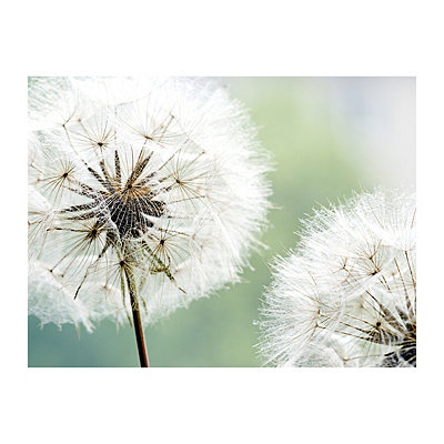 Dandelion Duo Canvas Art Print