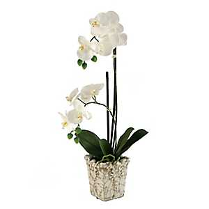 Cream Orchid Arrangement in Crackled Planter