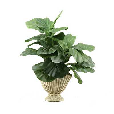 Fiddle-Leaf Fig Arrangement in Ceramic Planter