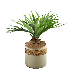 Staghorn Fern Arrangement in Cream Planter