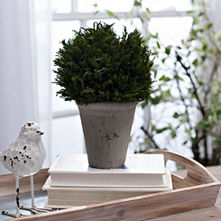 Cypress Arrangement in Gray Planter