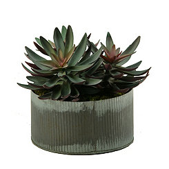 Frosted Echeveria Arrangement in Zinc Planter