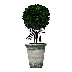 Boxwood Topiary Arrangement With Striped Ribbon