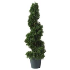 Cedar Spiral Silk Tree, 2 ft.