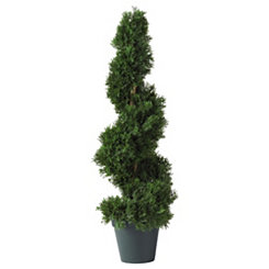 Cedar Spiral Silk Tree, 2 ft.