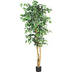 Ficus Silk Tree, 6 ft.