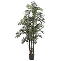 Robellini Palm Silk Tree, 5 ft.