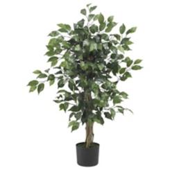 Ficus Silk Tree, 3 ft.