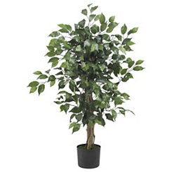 Ficus Silk Tree, 3 ft.