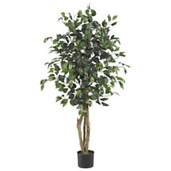 Ficus Silk Tree, 4 ft.