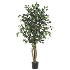Ficus Silk Tree, 4 ft.