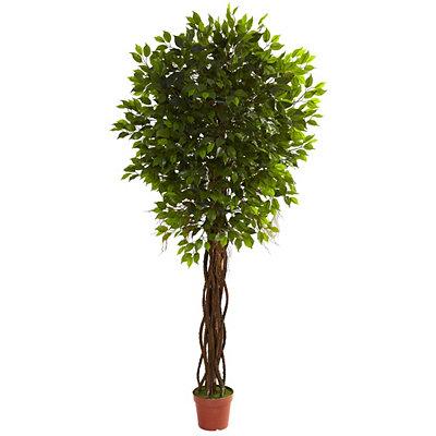 Ficus Tree, 7.5 ft.