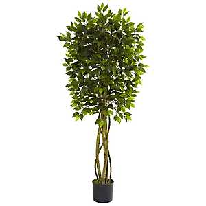 Ficus Tree, 5.5 ft.