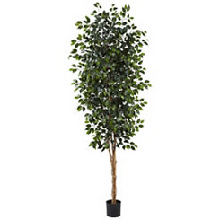 Ficus Tree, 8 ft.