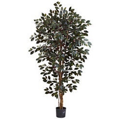 Capensia Ficus Tree, 6 ft.