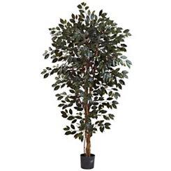 Capensia Ficus Tree, 6 ft.