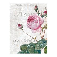Rosa Centifolia Bugatta Canvas Art Print