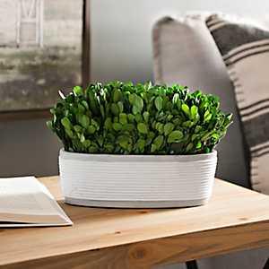 Boxwood Arrangement in White Ribbed Pot