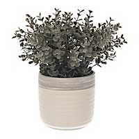 Frosted Boxwood Plant in Ceramic Pot