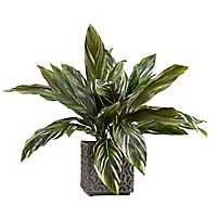 Dracaena Plant In Concrete Planter, 27 in.
