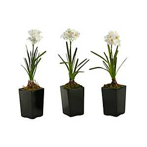 Paperwhite Bulbs in Square Planters, Set of 3