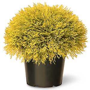 Golden Juniper Bush
