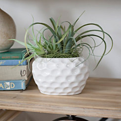 Air Plant in Round Ceramic Planter