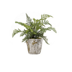 Lace Fern in Rustic Terra Cotta Pot