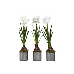 Paperwhite Bulbs in Tin Planters, Set of 3