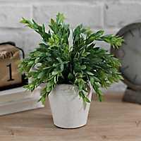 Ruscus Plant in Ceramic Pot, 11 in.