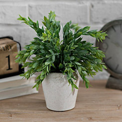 Ruscus Plant in Ceramic Pot, 11 in.