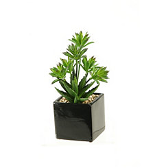 Dracaena Aloe Arrangement in Black Planter
