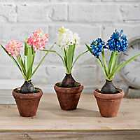 Potted Hyacinth Bulb Arrangements