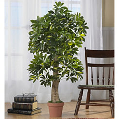 Schefflera Tree in Terra Cotta Planter, 4 ft.