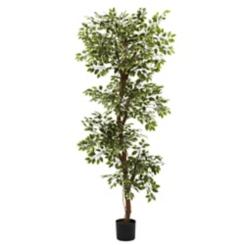 Roman Ficus in Black Planter, 6 ft.