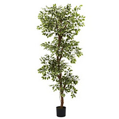 Roman Ficus in Black Planter, 6 ft.